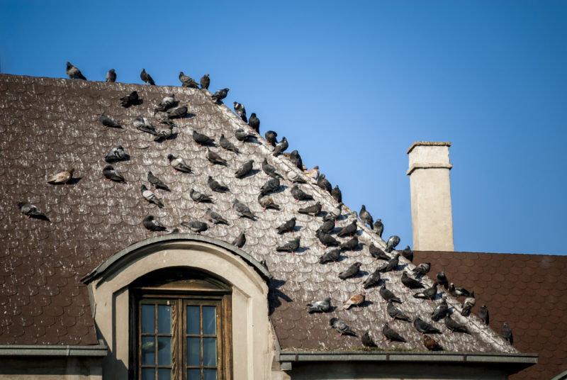 Pigeon droppings on rooftop awaiting our bird guano removal services